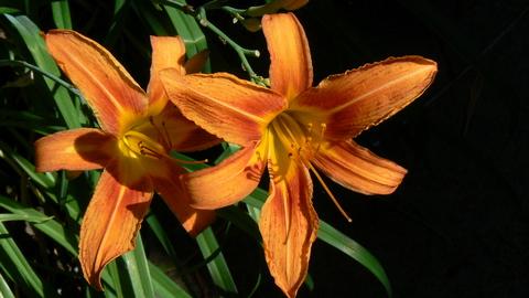 daylilies20080623ph.jpg