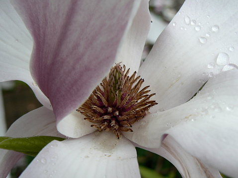 magnolia20080418ph.jpg