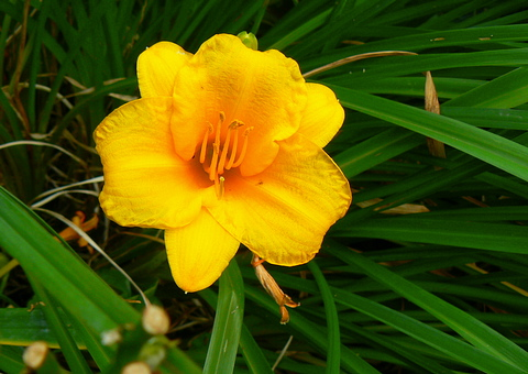 yellowiris20080711ph.jpg